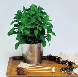 Stevia en maceta