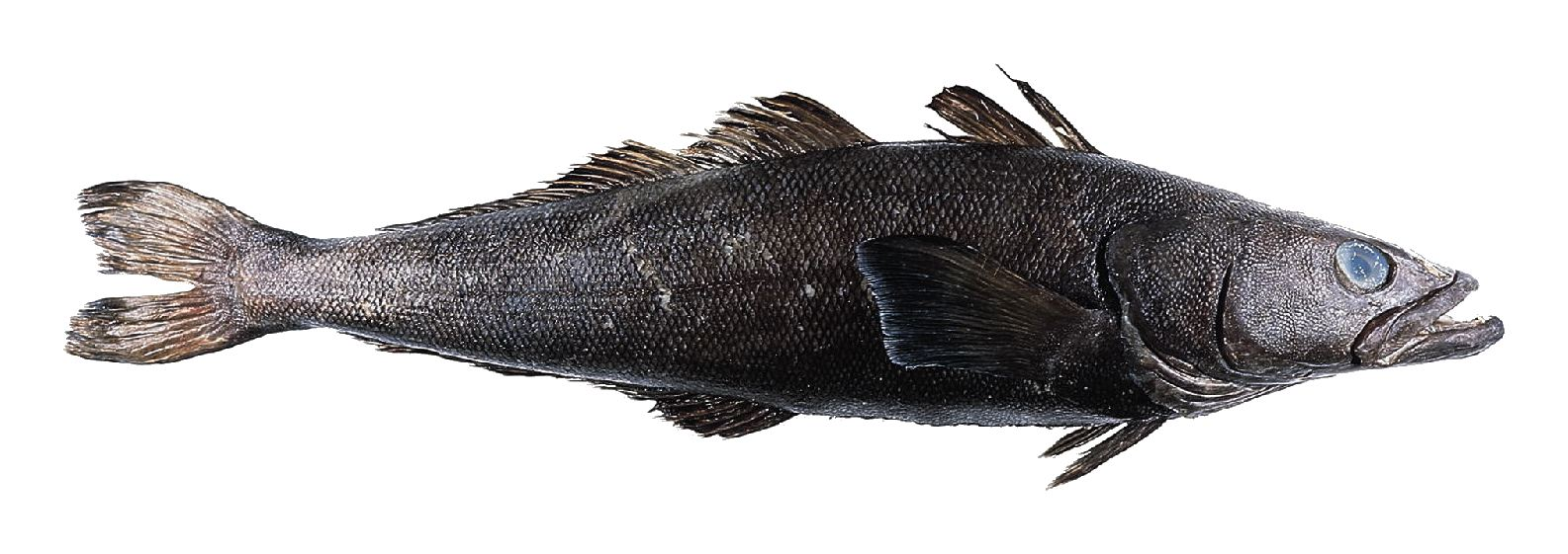 Alimentos Sanos: Pescado Blanco